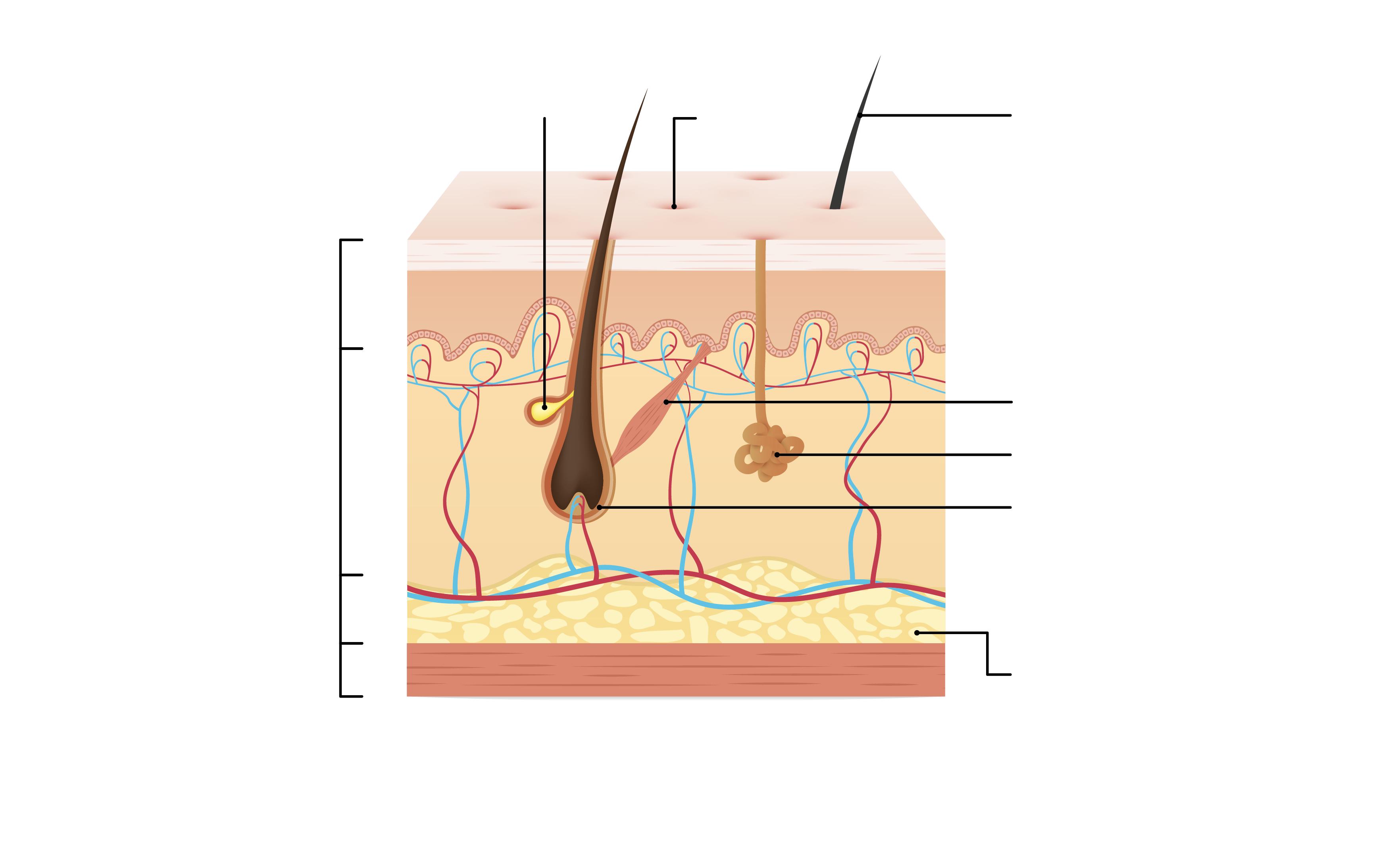 Unsere Haut Aufbau und Aufgaben der Haut interaktiv entdecken